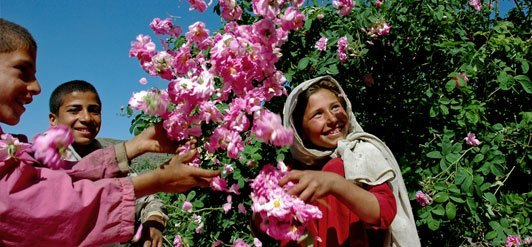 Les Roses d'Afghanistan