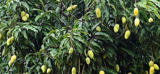 Raw materials purchaser Christine Ellinger found a source for organic mango butter in India.