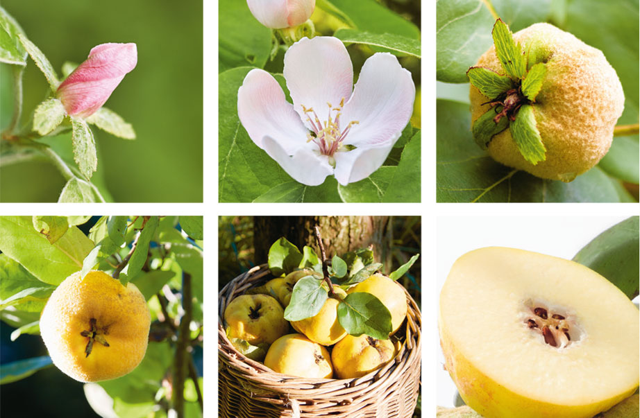 When does flowering, when green, when does the quince mature?
