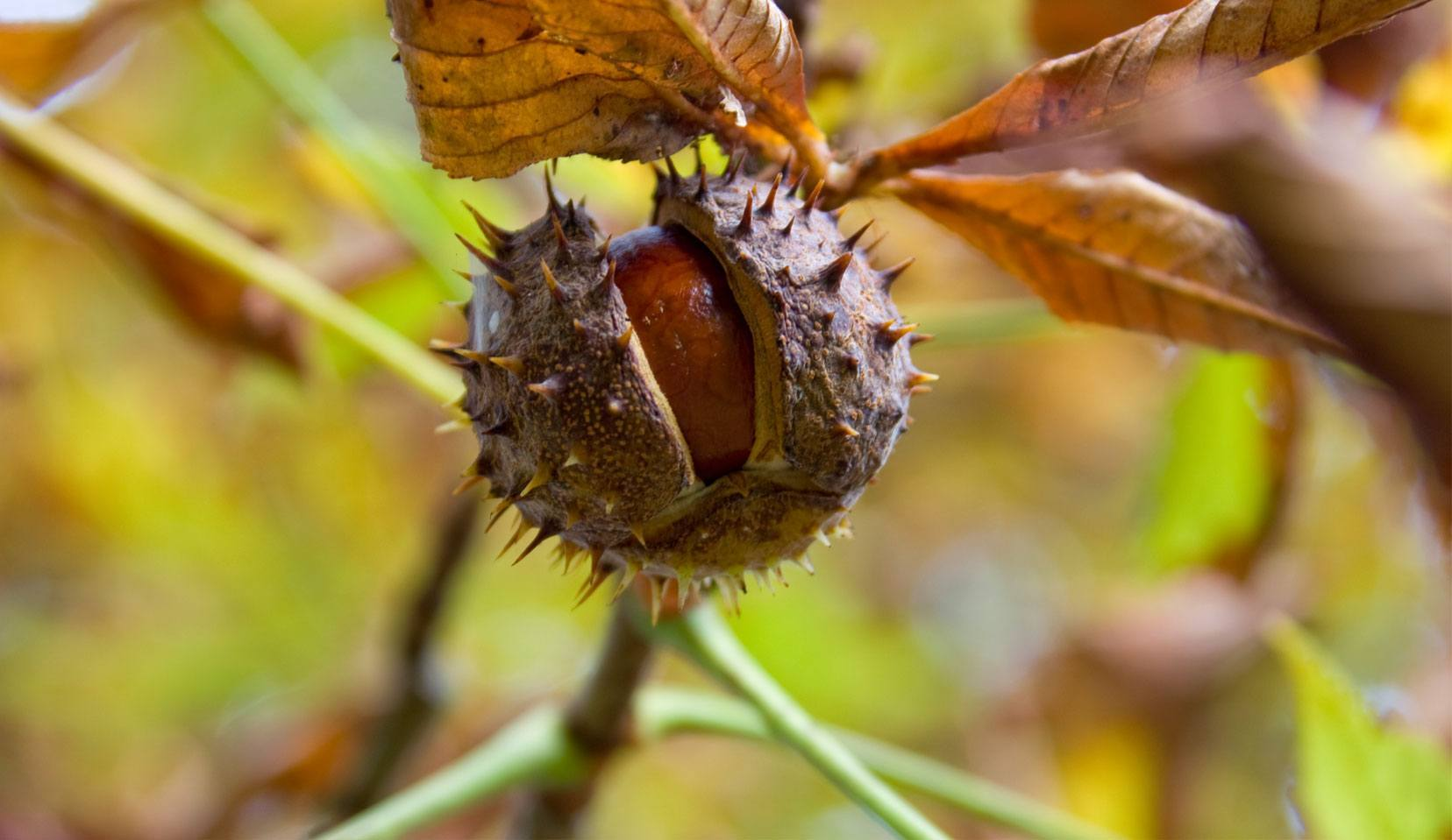 Horse Chestnut Aesculus Hippocastanum L