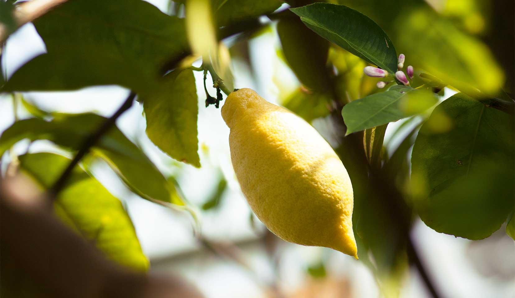 lemon citrus limon l rutaceae dr hauschka. Black Bedroom Furniture Sets. Home Design Ideas