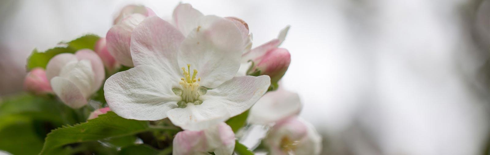 Apfel - Malus domestica Borkh.