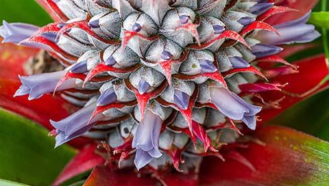 Pineapple - Ananas comosus (L.) Merr., Ananas sativus L.