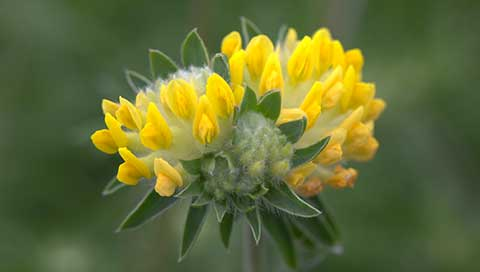 Kidney Vetch - Anthyllis vulneraria L.