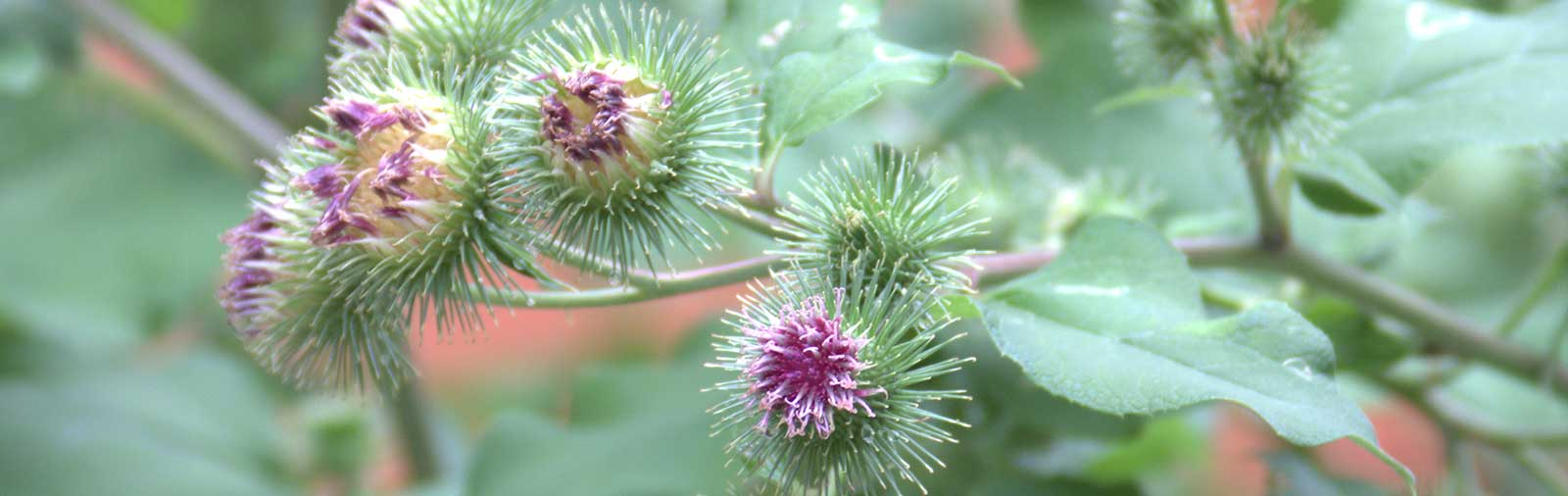 Greater Burdock - Arctium lappa L.