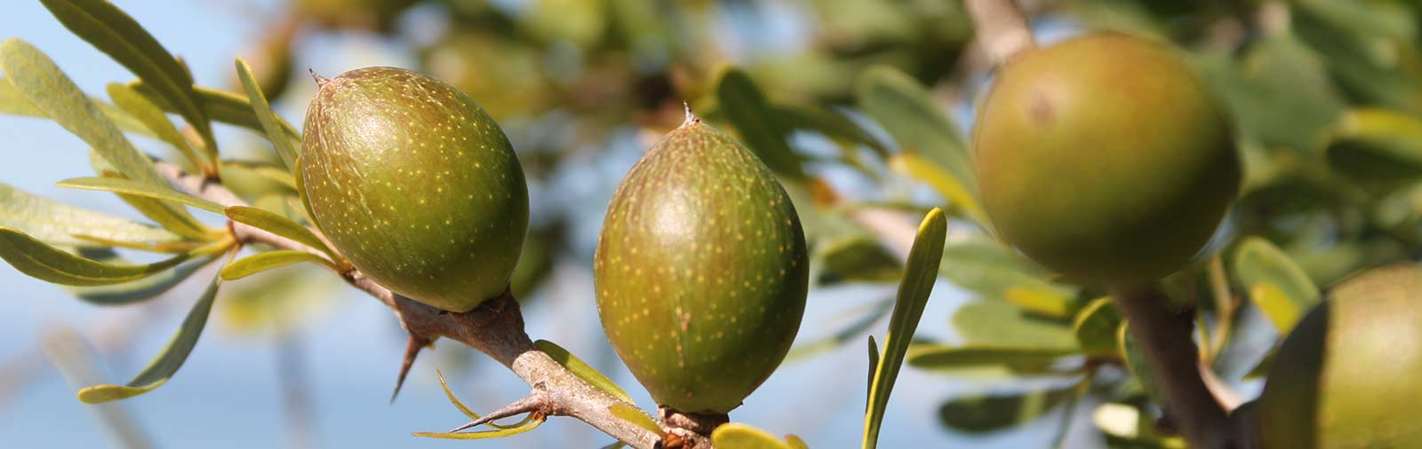 Arganbaum - Argania spinosa