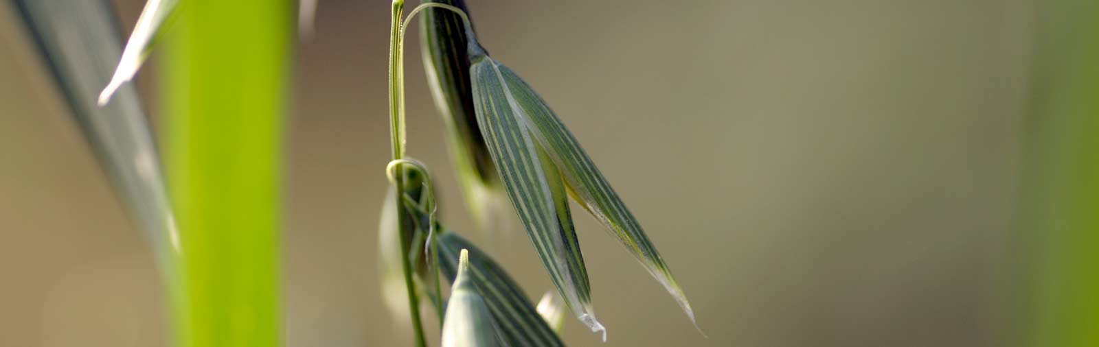 Common Oat - Avena sativa L.