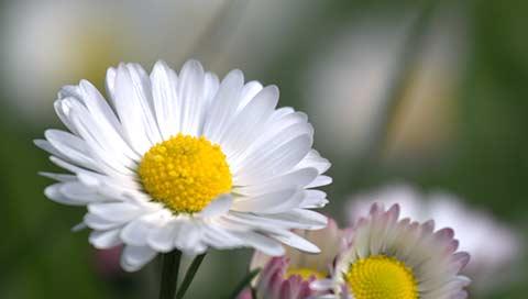 Daisy - Bellis perennis L.