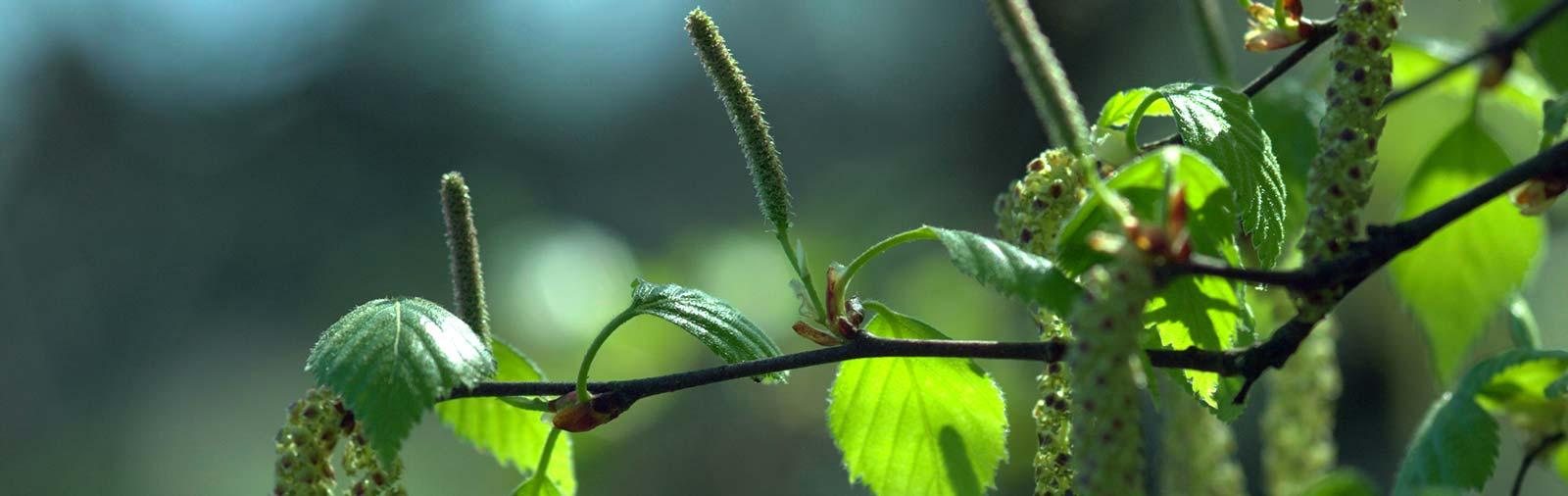Birke - Betula pendula Roth