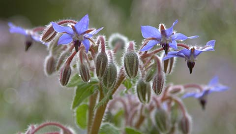 Borretsch - Borago officinalis L.