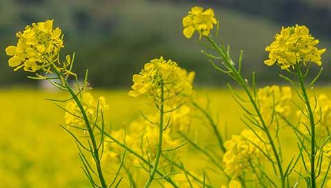 Mustard - Brassica nigra L.