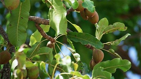 Shea Tree - Butyrospermum parkii