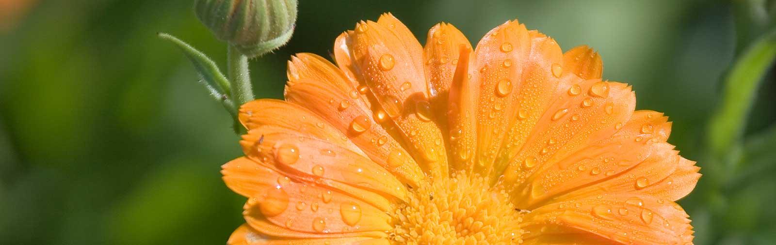 Ringelblume - Calendula officinalis L.