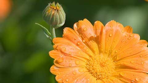 Marigold - Calendula officinalis L.