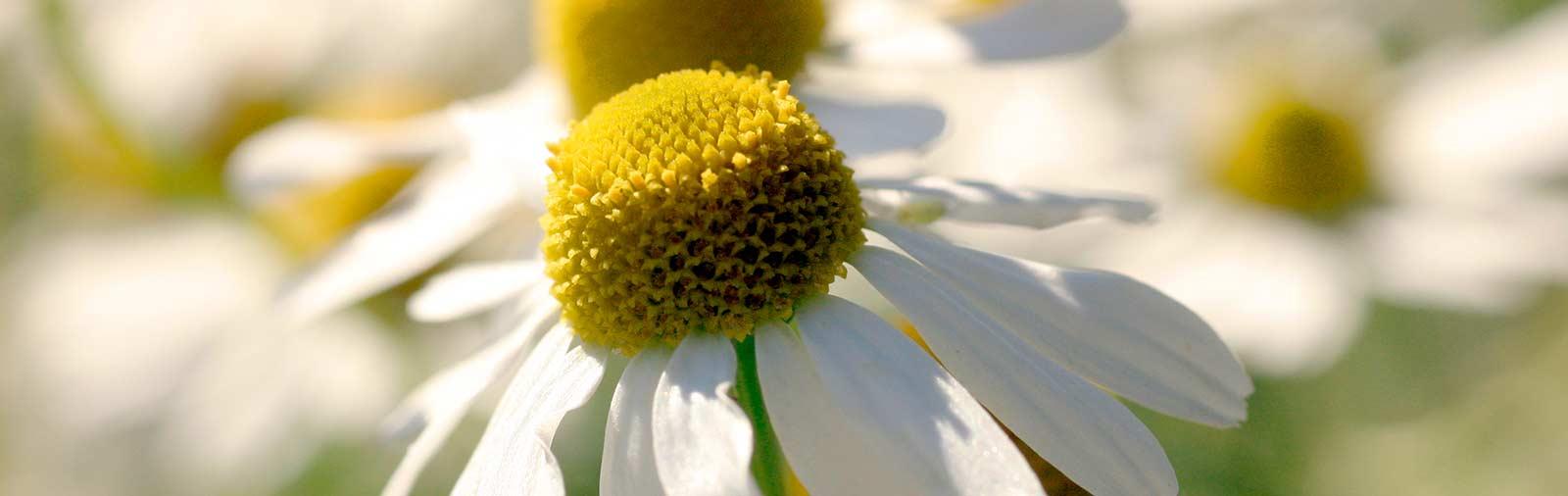 German Chamomile - Chamomilla recutita L.