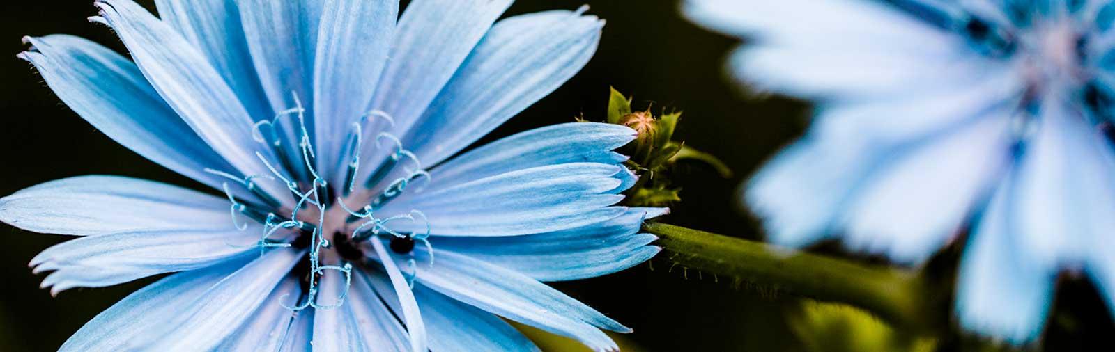 Wegwarte - Cichorium intybus L.
