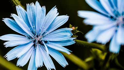 Chicory - Cichorium intybus L.