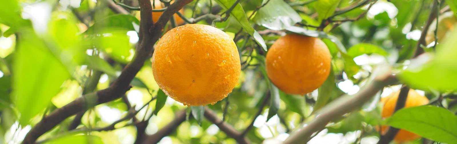Bigarade - Citrus aurantium amara L.