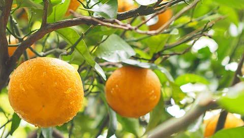Bitter Orange - Citrus aurantium amara L.