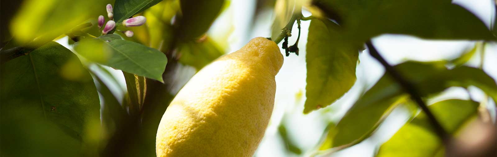 Lemon - Citrus limon L.