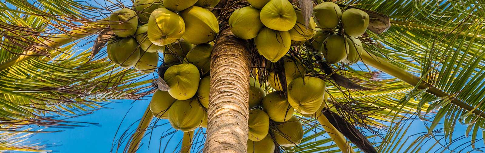 Kokospalm - Cocos nucifera L.
