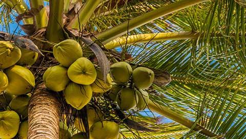 Coconut tree - Cocos nucifera L.