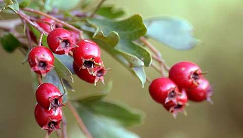 Hawthorn - Crataegus monogyna Jacq., Crataegus laeviagata Poir.