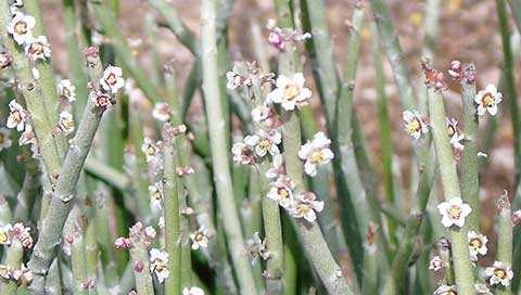 Candelilla - Euphorbia antisyphillitica, Euphorbia cerifera, Pedilanthus pavonis