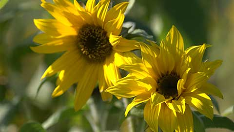 Sunflower - Helianthus annuus L.