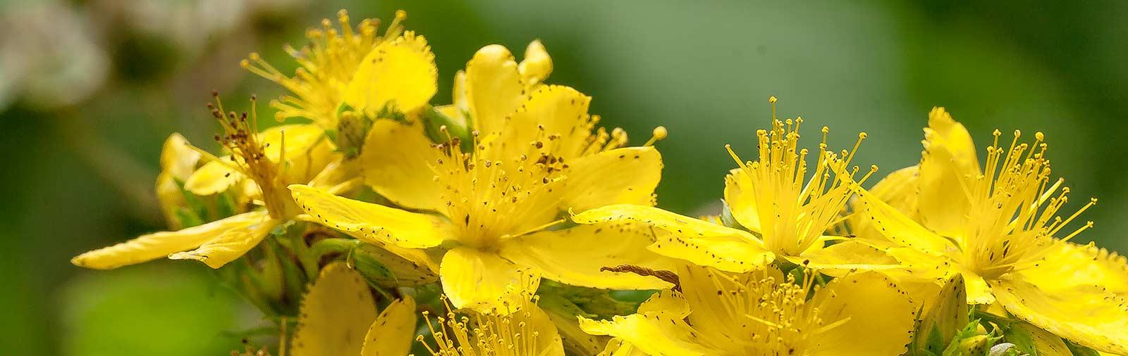 Millepertuis - Hypericum perforatum L.