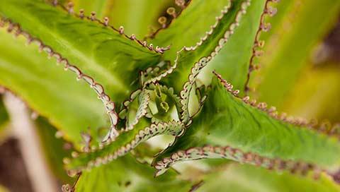 Bryophyllum - Kalanchoë daigremontiana