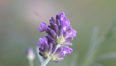 Lavender - Lavandula angustifolia Mill.