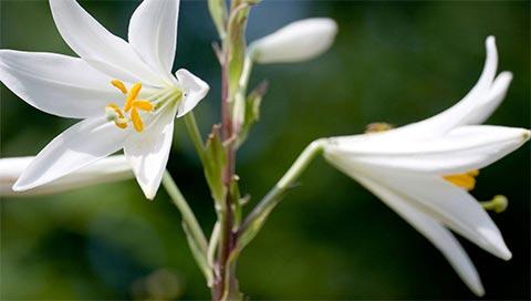 Madonna Lily - Lilium candidum L.
