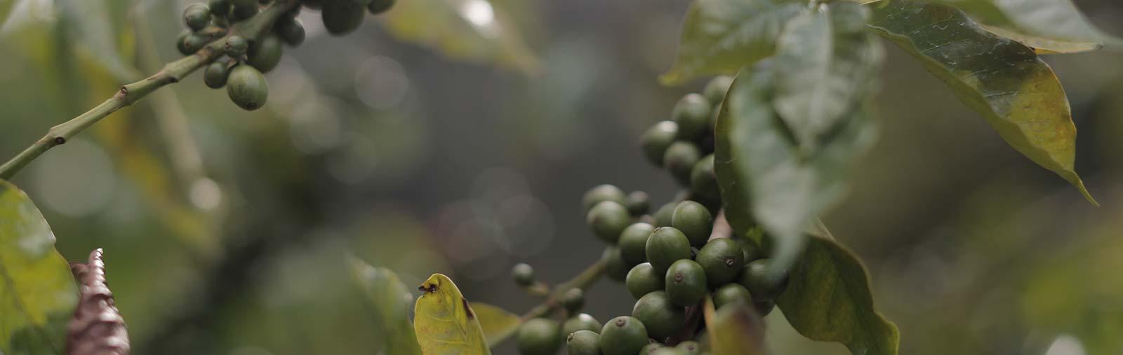 Macadamia - Macadamia ternifolia FvMUELL