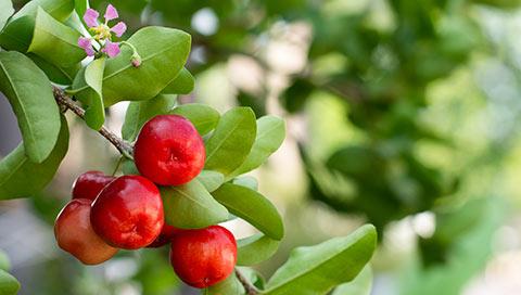 Acerola - Malpighia punicifolia L.