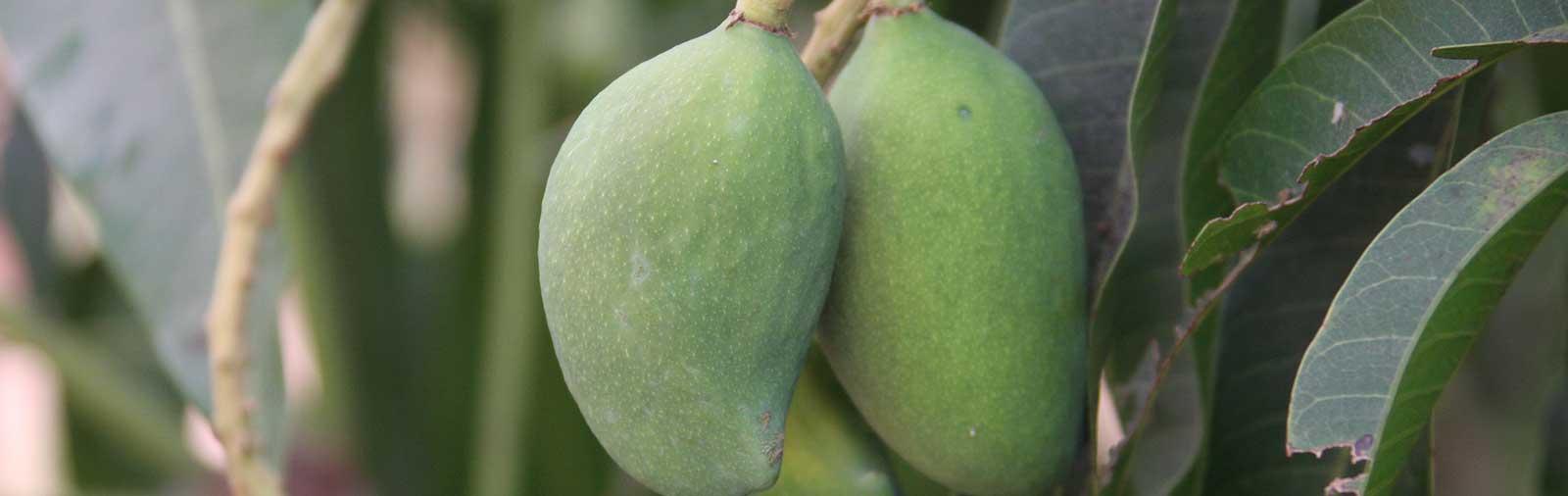 Mangue - Mangifera indica L.