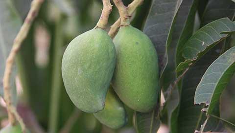 Mango - Mangifera indica L.