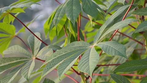 Cassava - Manihot esculenta Crantz