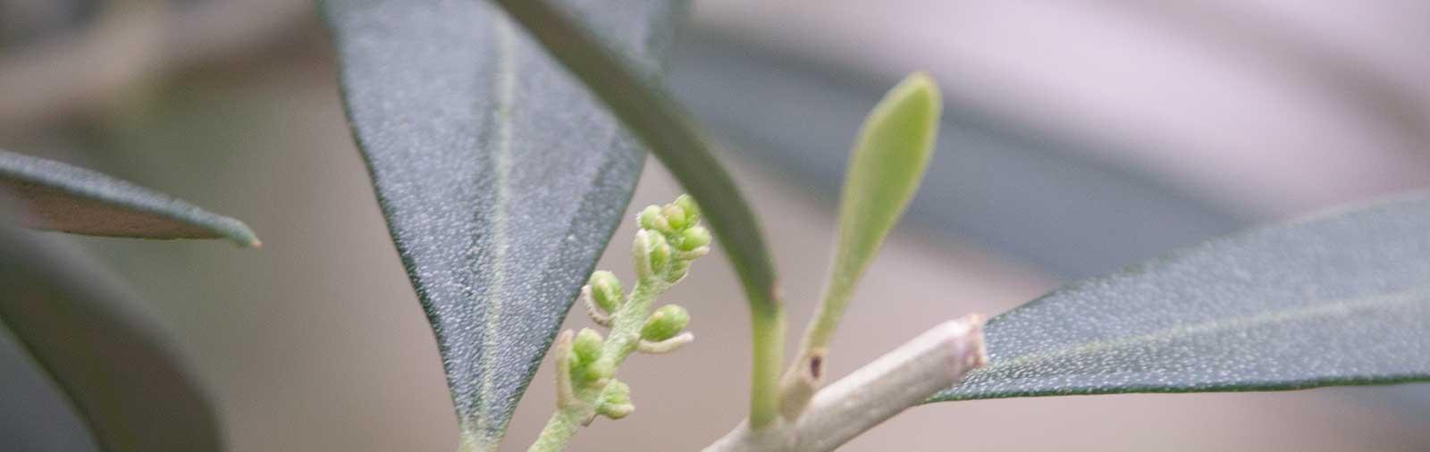 Olivenbaum - Olea europaea L.