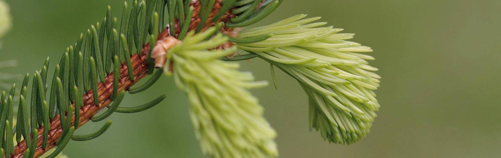 Fijnspar - Picea abies L.