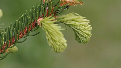 Norway Spruce - Picea abies L.