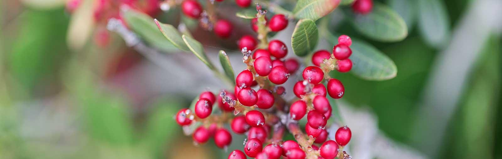 Lentisque - Pistacia lentiscus