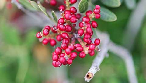 Mastic tree - Pistacia lentiscus