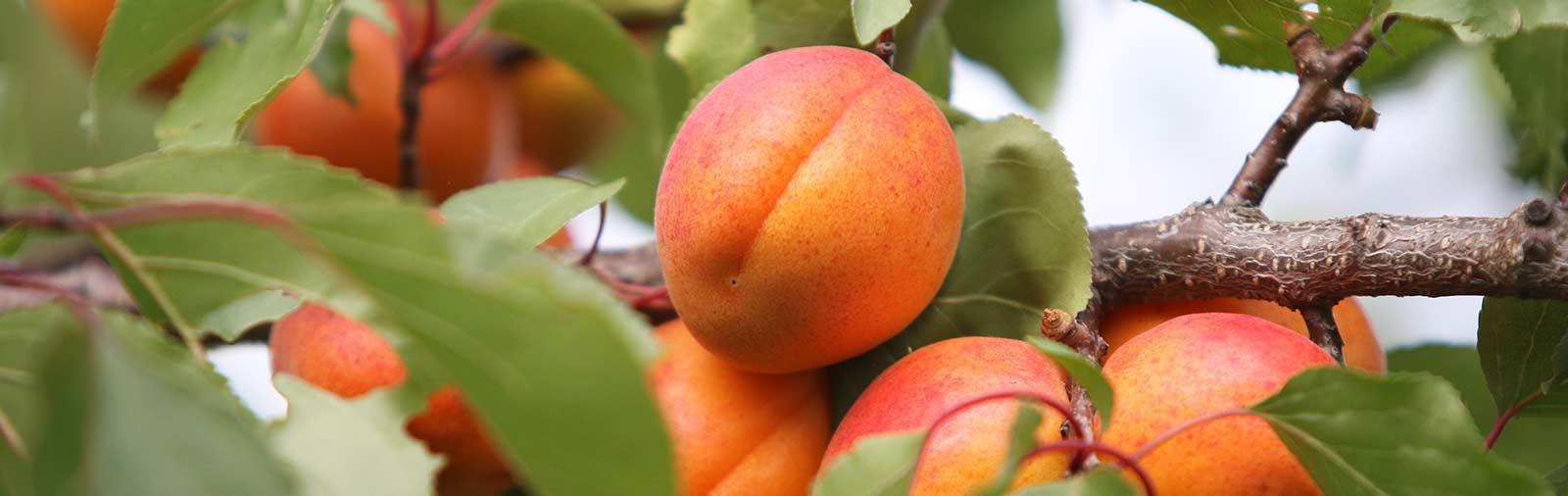 Abrikoos - Prunus armeniaca L.