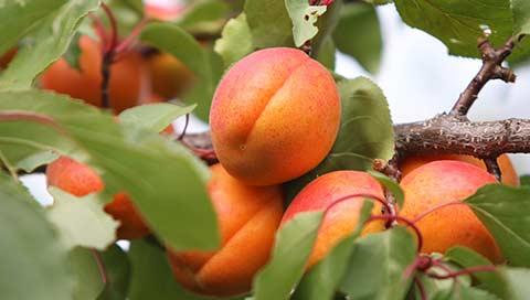 Apricot - Prunus armeniaca L.