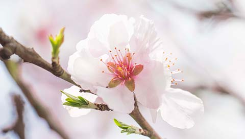Almond Tree - Prunus dulcis (Mill.)