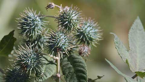 Castor Oil Plant - Ricinus communis L.