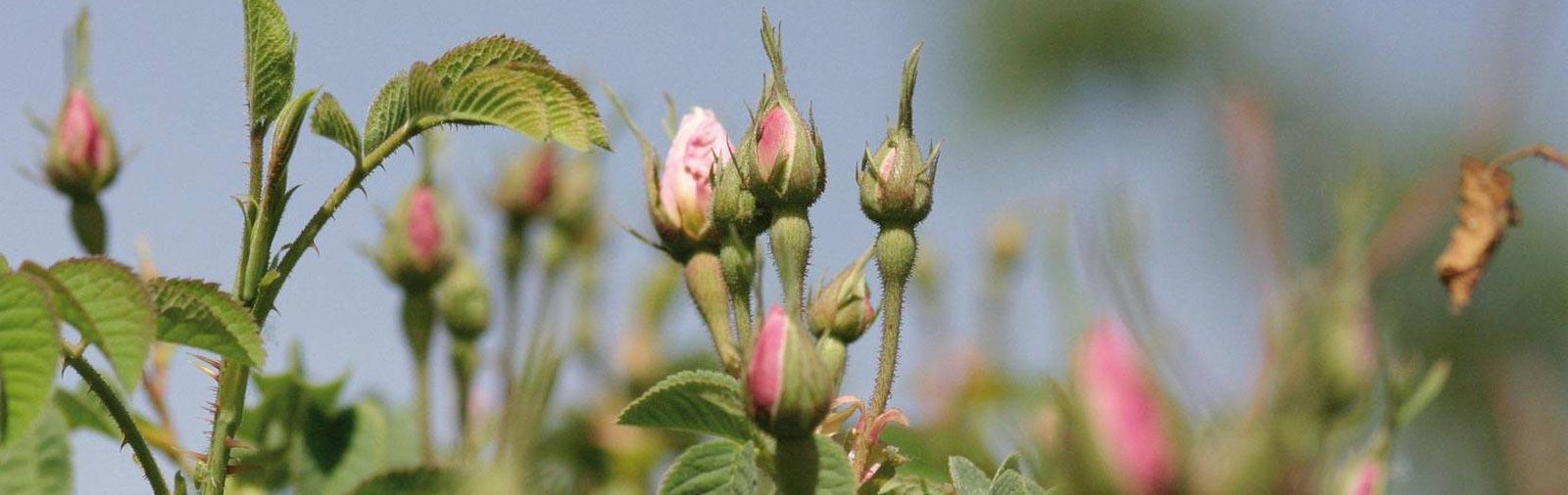 Roos - Rosa ssp.
