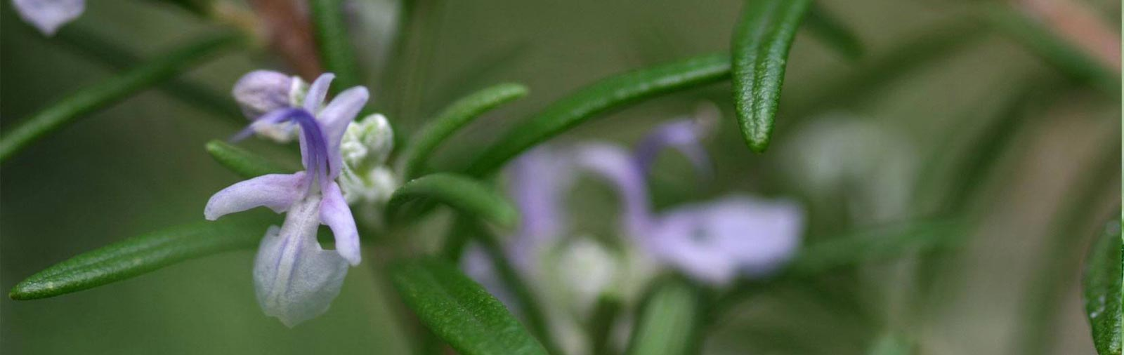 Rosemary - Rosmarinus officinalis L.