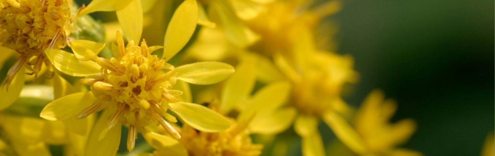 Goldenrod - Solidago virgaurea L.